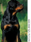Domestic dog, Rottweiler looking to one side. Стоковое фото, фотограф Adriano Bacchella / Nature Picture Library / Фотобанк Лори