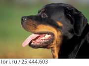 Domestic dog, Rottweiler profile. Стоковое фото, фотограф Adriano Bacchella / Nature Picture Library / Фотобанк Лори