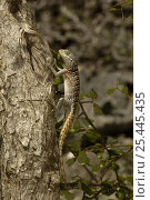 Купить «Iguanid lizard (Oplurus cyclurus) Tsimanampetsotsa Special Reserve. South-west desert of MADAGASCAR, endemic», фото № 25445435, снято 18 августа 2018 г. (c) Nature Picture Library / Фотобанк Лори