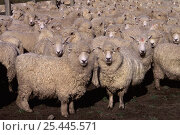 Купить «Flock of Domestic sheep {Ovis aries} New Zealand», фото № 25445571, снято 26 марта 2019 г. (c) Nature Picture Library / Фотобанк Лори