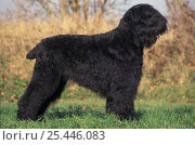 Domestic dogs, Russian Black Terrier standing in show stack/pose. Стоковое фото, фотограф Adriano Bacchella / Nature Picture Library / Фотобанк Лори