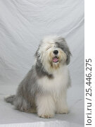Купить «Domestic dog, Old English Sheepdog / Bobtail sitting, studio portrait», фото № 25446275, снято 20 августа 2018 г. (c) Nature Picture Library / Фотобанк Лори