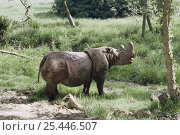 Купить «Sumatran rhinoceros {Dicerorhinus sumatrensis} male vocalising, critically endangered, captive, from SE Asia», фото № 25446507, снято 15 декабря 2019 г. (c) Nature Picture Library / Фотобанк Лори