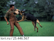 Купить «Domestic dog, Alsatian / German Shepherd biting man's arm during training.», фото № 25446567, снято 27 июня 2018 г. (c) Nature Picture Library / Фотобанк Лори