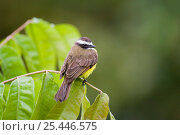 Купить «Rusty margined Flycatcher {Myiozetetes cayanensis harterti} perching on branch, Gamboa Road, Panama.», фото № 25446575, снято 20 марта 2019 г. (c) Nature Picture Library / Фотобанк Лори