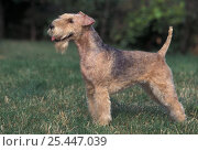 Domestic dog - black and tan Lakeland terrier standing in show stack / pose. Стоковое фото, фотограф Adriano Bacchella / Nature Picture Library / Фотобанк Лори