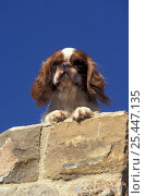 Domestic dog, Cavalier King Charles Spaniel portrait on wall. Стоковое фото, фотограф Adriano Bacchella / Nature Picture Library / Фотобанк Лори