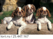 Domestic dog, three Cavalier King Charles Spaniel puppies on log. Стоковое фото, фотограф Adriano Bacchella / Nature Picture Library / Фотобанк Лори