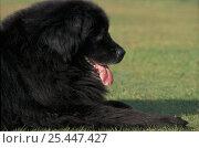 Купить «Domestic dog, Newfoundland lying on grass.», фото № 25447427, снято 23 апреля 2018 г. (c) Nature Picture Library / Фотобанк Лори