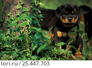 Domestic dog, Rottweiler puppy sitting next to tree. Стоковое фото, фотограф Adriano Bacchella / Nature Picture Library / Фотобанк Лори