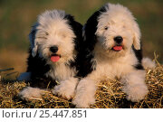Купить «Old English Sheepdog / Bobtail puppies on hay», фото № 25447851, снято 20 августа 2018 г. (c) Nature Picture Library / Фотобанк Лори