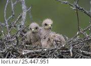 Harris's Hawk (Parabuteo unicinctus) chicks, 2 weeks, in nest, Willacy County, Rio Grande Valley, Texas, USA. May 2004. Стоковое фото, фотограф Rolf Nussbaumer / Nature Picture Library / Фотобанк Лори