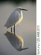 """Portrait of Snowy egret (Egretta thula) in water with reflection, JN """"Ding"""" Darling NWR, Sanibel Island, Florida, USA. Стоковое фото, фотограф Thomas Lazar / Nature Picture Library / Фотобанк Лори"""