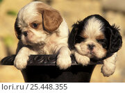 Domestic dogs, two Cavalier King Charles Spaniel puppies in pot. Стоковое фото, фотограф Adriano Bacchella / Nature Picture Library / Фотобанк Лори