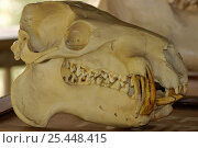 Skull of Pygmy Hippo {Choeropsis / Hexaprotodon liberiensis} South Africa. Стоковое фото, фотограф Tony Phelps / Nature Picture Library / Фотобанк Лори