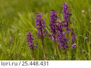 Купить «Common Spotted Orchid {Dactylorhiza fuchsii}  France», фото № 25448431, снято 20 октября 2019 г. (c) Nature Picture Library / Фотобанк Лори
