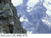 West caucasian tur (Capra caucasica) female on steep rock face of Caucasus Mountains at 3000 m, Kabardino-Balkarskiy Zapovednik reserve, Central Caucasus, Karacheyevo Cherkessiya, Russia. Стоковое фото, фотограф Konstantin Mikhailov / Nature Picture Library / Фотобанк Лори