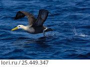 Купить «Waved albatross {Phoebastria / Diomedea irrorata} taking-off, Galapagos Islands.», фото № 25449347, снято 17 июня 2019 г. (c) Nature Picture Library / Фотобанк Лори