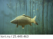 Купить «Carp (Cyprinus carpio) Aare River, Switzerland, 2003», фото № 25449463, снято 15 декабря 2017 г. (c) Nature Picture Library / Фотобанк Лори