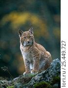 Купить «Young male European lynx (Lynx lynx) in broadleaf forest, Sumava NP, Bohemia, Czech Republic.», фото № 25449727, снято 13 декабря 2017 г. (c) Nature Picture Library / Фотобанк Лори