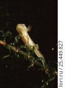 Купить «Larva of Smooth newt (Triturus vulgaris) with external gills visible, Holland», фото № 25449827, снято 21 августа 2018 г. (c) Nature Picture Library / Фотобанк Лори
