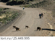 Groups of Gelada Baboons {Theropithecus gelada} crossing a road, Debre Libano. Ethiopia. 2500 m altitude. Стоковое фото, фотограф Christophe Courteau / Nature Picture Library / Фотобанк Лори