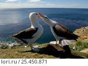 Black browed albatrosses (Thalassarche melanophrys) courtship dance, Falkland Islands. Стоковое фото, фотограф Solvin Zankl / Nature Picture Library / Фотобанк Лори