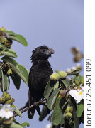 Купить «Groove-billed Ani (Crotophaga sulcirostris) in Mexican Olive Tree, Cameron County, Rio Grande Valley, Texas, USA. May 2004», фото № 25451099, снято 21 января 2018 г. (c) Nature Picture Library / Фотобанк Лори