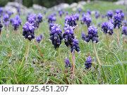 Купить «Grape Hyacinth {Muscari armeniacum} in flower, Kizildag National Park, Turkey.», фото № 25451207, снято 20 октября 2019 г. (c) Nature Picture Library / Фотобанк Лори