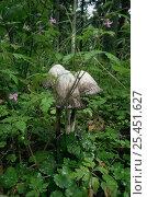 Купить «Shaggy inkcap fungus {Coprinus comatus} in woodland, Germany, deliquescing sequence 2/3», фото № 25451627, снято 14 декабря 2017 г. (c) Nature Picture Library / Фотобанк Лори