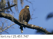 Harris's Hawk (Parabuteo unicinctus) perched on branch. Santa Ana National Wildlife Refuge, Texas, USA. December 2003. Стоковое фото, фотограф Rolf Nussbaumer / Nature Picture Library / Фотобанк Лори