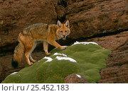 Culpeo / Andean red fox {Pseudolopex culpaeus} Altiplano, Bolivia. Стоковое фото, фотограф Pete Oxford / Nature Picture Library / Фотобанк Лори