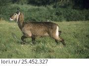 Defassa waterbuck {Kobus ellipsiprymnus defassa} female caught in snare, Lake Nakuru NP, Kenya. Стоковое фото, фотограф Jabruson / Nature Picture Library / Фотобанк Лори