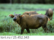 African forest buffalo {Syncerus caffer nanus} with Yellow billed oxpecker {Buphagus africanus} Odzala NP, Congo Rep. Стоковое фото, фотограф Jabruson / Nature Picture Library / Фотобанк Лори