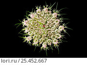 Купить «Flower of Wild carrot plant (Daucus carota), Europe», фото № 25452667, снято 25 мая 2020 г. (c) Nature Picture Library / Фотобанк Лори
