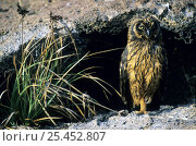 Купить «Short-Eared Owl (Asio flammeus), Genovesa, Tower, Galapagos Islands, Ecuador», фото № 25452807, снято 19 октября 2019 г. (c) Nature Picture Library / Фотобанк Лори