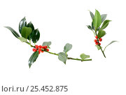 Купить «Holly cuttings {Ilex aquifolium} with berries.», фото № 25452875, снято 2 июня 2020 г. (c) Nature Picture Library / Фотобанк Лори