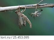 Купить «Desert Locust {Schistocerca gregaria} adult emerging from nymphal skin, captive, Sequence 4/6», фото № 25453095, снято 16 октября 2019 г. (c) Nature Picture Library / Фотобанк Лори