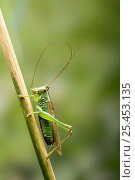 Купить «Long Winged Conehead (Conocephalus discolor) Male cleaning antennae, Hertfordshire, UK», фото № 25453135, снято 25 апреля 2018 г. (c) Nature Picture Library / Фотобанк Лори