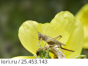Купить «Long Winged Conehead (Conocephalus discolor) Female cleaning antennae on Evening Primrose, Hertfordshire, UK», фото № 25453143, снято 25 апреля 2018 г. (c) Nature Picture Library / Фотобанк Лори