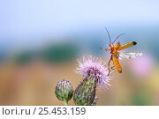 Black-tipped Soldier Beetle {Rhagonycha fulva} taking off from Creeping Thistle {Cirsium arvense} Surrey, England. Стоковое фото, фотограф Kim Taylor / Nature Picture Library / Фотобанк Лори