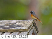Купить «Redstart {Phoenicurus phoenicurus} male singing on top of birdhouse, Estonia.», фото № 25453255, снято 20 января 2019 г. (c) Nature Picture Library / Фотобанк Лори