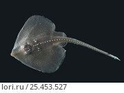 Купить «Deepsea Juvenile ray, deep sea Atlantic ocean,», фото № 25453527, снято 20 января 2020 г. (c) Nature Picture Library / Фотобанк Лори