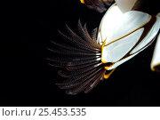 Купить «Goose barnacles (Lepas anatifera) found attached to drifting oceanic buoy, Atlantic ocean», фото № 25453535, снято 16 января 2018 г. (c) Nature Picture Library / Фотобанк Лори