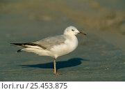 Купить «Slender-billed Gull {Chroicocephalus genei} Khaluf, Oman.», фото № 25453875, снято 17 июня 2019 г. (c) Nature Picture Library / Фотобанк Лори