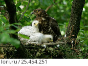 Купить «Honey buzzard {Pernis apivorus} at nest with chicks Podlasie, Poland.», фото № 25454251, снято 8 мая 2020 г. (c) Nature Picture Library / Фотобанк Лори