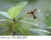Longhorn beetle (Longicornia) in flight, captive, from Trinidad, West Indies, digital composite. Стоковое фото, фотограф Kim Taylor / Nature Picture Library / Фотобанк Лори