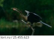 American darter {Anhinga anhinga} calling, Ding Darling NWR, Florida, USA. Стоковое фото, фотограф Thomas Lazar / Nature Picture Library / Фотобанк Лори