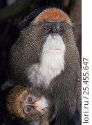Купить «De Brazza's monkey {Cercopithecus neglectus} female with 2-month baby, captive, from Africa», фото № 25455647, снято 22 марта 2019 г. (c) Nature Picture Library / Фотобанк Лори