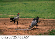 Two Secretary birds {Sagittarius serpentarius} drinking at water hole, Kgalagadi Transfrontier Park, South Africa. Стоковое фото, фотограф Pete Oxford / Nature Picture Library / Фотобанк Лори